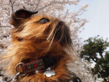 ライカバック桜2.jpg