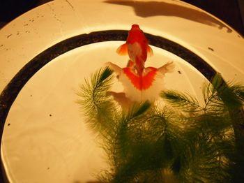 優雅な金魚2.jpg
