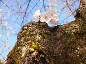 幹桜1.jpg.JPG