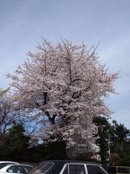 桜2013-3.jpg