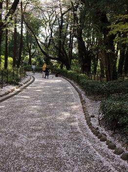 桜じゅうたん1.jpg.JPG