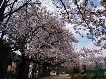 桜トンネル1.JPG