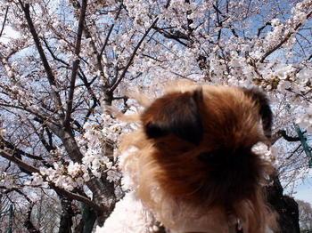 桜ライカ2.JPG