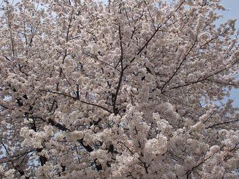 桜2013ー1.jpg