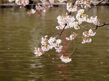 水面桜1.jpg.JPG