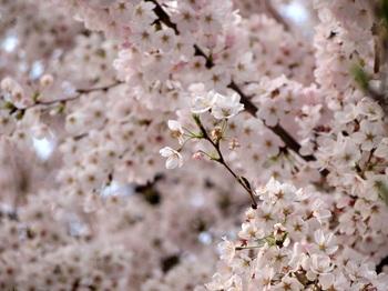 満開桜1.jpg.JPG