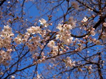 青空桜1.jpg.JPG