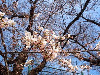 2014桜1.jpg