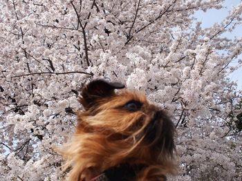ライカバック桜3.jpg