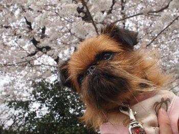 ライカ桜バック1.jpg