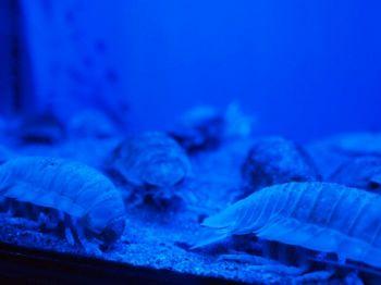 海のダンゴムシ1.jpg